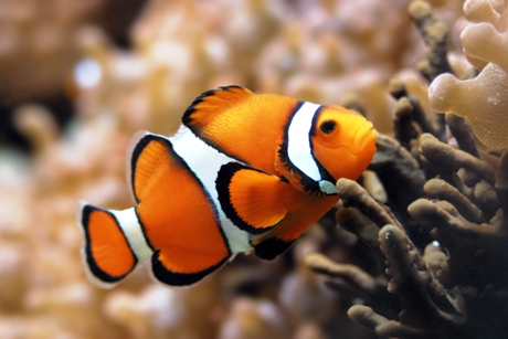 The Clownfish