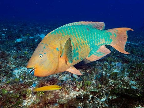 The Rainbow Parrotfish